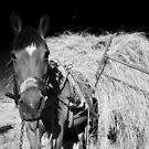 mule by neil harrison