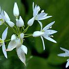 Wild Garlic ~ Ramsons (Allium ursinum) by Clive