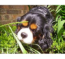 Cavalier King Charles - Odie Jungle Photographic Print