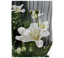 White and Green Tulips Poster