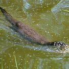 Otter in water by Steve