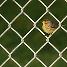 Not on the Fence, In the Fence- Palm Warbler by Tom Dunkerton