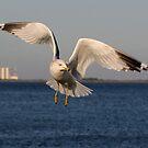 Ring-billed Gull Flight by Tom Dunkerton