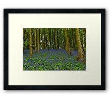 Bluebells 2011. Framed Print