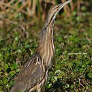 OK, So You Can See Me!- American Bittern by Tom Dunkerton