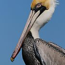Yes, I AM  Handsome!- Brown Pelican by Tom Dunkerton