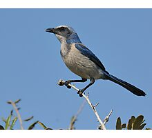 Just Looking Around- Florida Scrub-jay Photographic Print