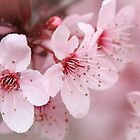 Plum Blossom 1 by David Kocherhans
