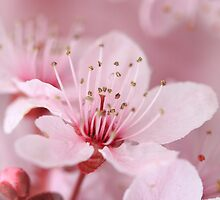 Plum Blossom 2 by David Kocherhans