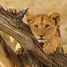 Cute Lion Cub, Masai Mara National Park by Kevin Bedford