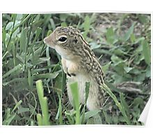 13-Lined Ground Squirrel Poster