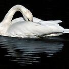 Swan reflection by Steve  Liptrot