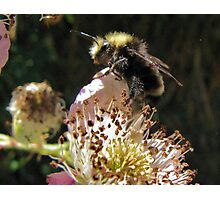 Bumble Bee and Wild Blackberry's Photographic Print