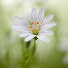 Stellaria holostea by Mandy Disher