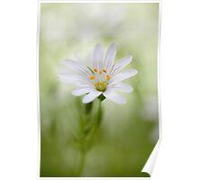 Stellaria holostea Poster