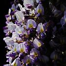 Wisteria by Annabelle Evelyn