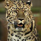 Amur Leopard Portrait by Mark Hughes