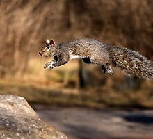 Flying Grey Squirrel by Jim Cumming