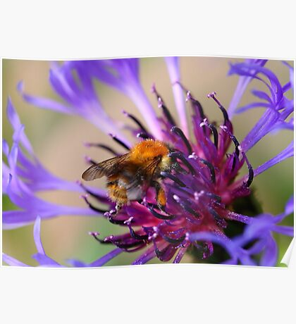Mountain Cornflower and a Bumble Bee Poster