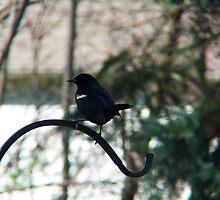Red Winged Blackbird  by Marcia Rubin