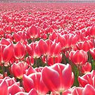 Tulips  by angeljootje