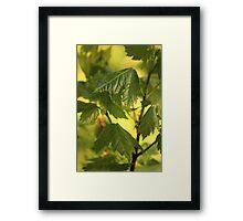 Baby Sugar Maple Framed Print