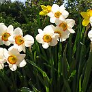 Delightful Dafodil's by Lee d'Entremont