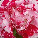 Peppermint Camellia by lynell