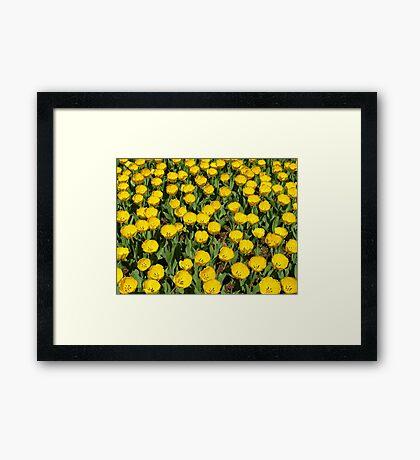 YELLOW TULIPS! Framed Print