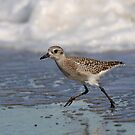 Jogging on the Beach- Black-bellied Plover by Tom Dunkerton