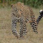 Prowling Leopard - Masai Mara by Kevin Bedford