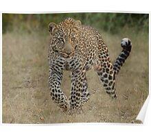 Prowling Leopard - Masai Mara Poster