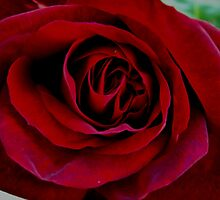 Rose Red by M Tising
