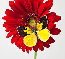 Dogface Butterfly On Red Mum by Garry Gay
