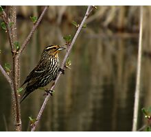 The Subtle Beauty of the Female Red-winged Blackbird Photographic Print