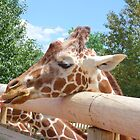 Friendly Giraffe at Cheyenne Mountain Zoo by Margot Ardourel