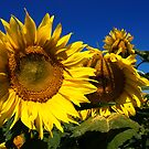 Sunflower Trio by jodi payne