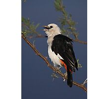 White-headed Buffalo-weaver, Tanzania  Photographic Print