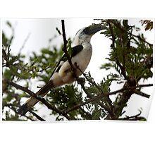 Van Decken's Hornbill, Serengeti, Tanzania  Poster