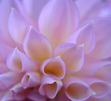 Dahlia Delight by MissyD
