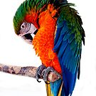 Harlequin macaw by freesouldesigns