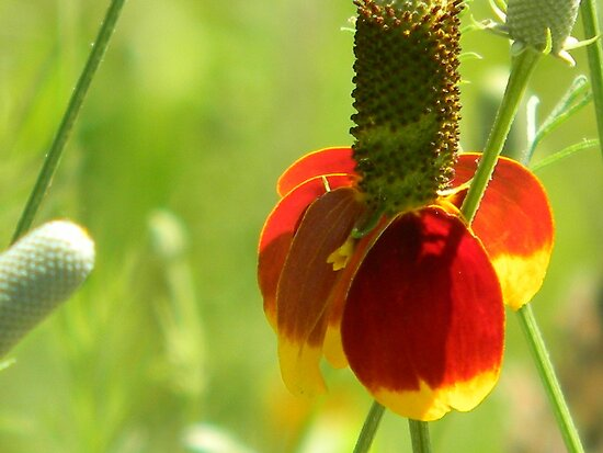 Mexican Hat with Florets by Navigator