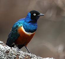 Superb Starling, Serengeti, Tanzania  by Carole-Anne