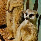 Meerkat Watch by Penny Smith