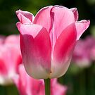 Pink/White Tulip by bubblebat