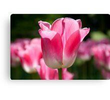 Pink/White Tulip Canvas Print
