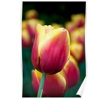 Red/Yellow Tulip Poster