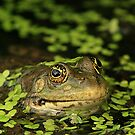 marsh frog by Brett Watson Stand By Me  Ethiopia