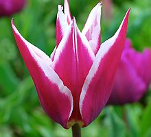 Tulip Queen by Penny Smith