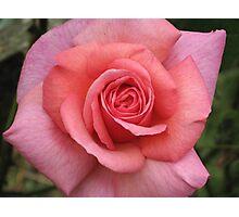 Kiltumper Rose Photographic Print